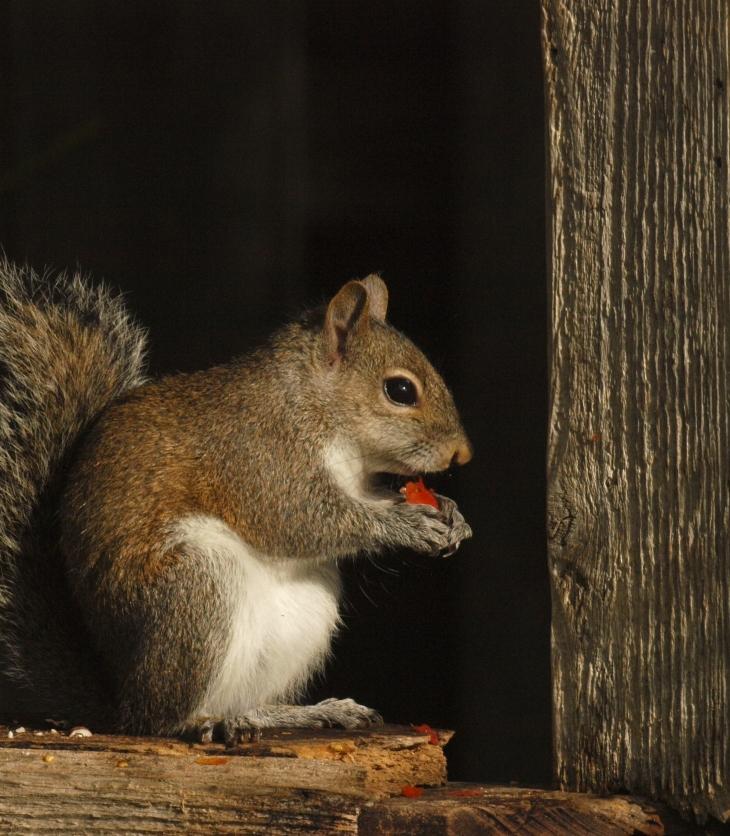Squirrel Eating Tomato