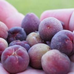 Seagrape Berries