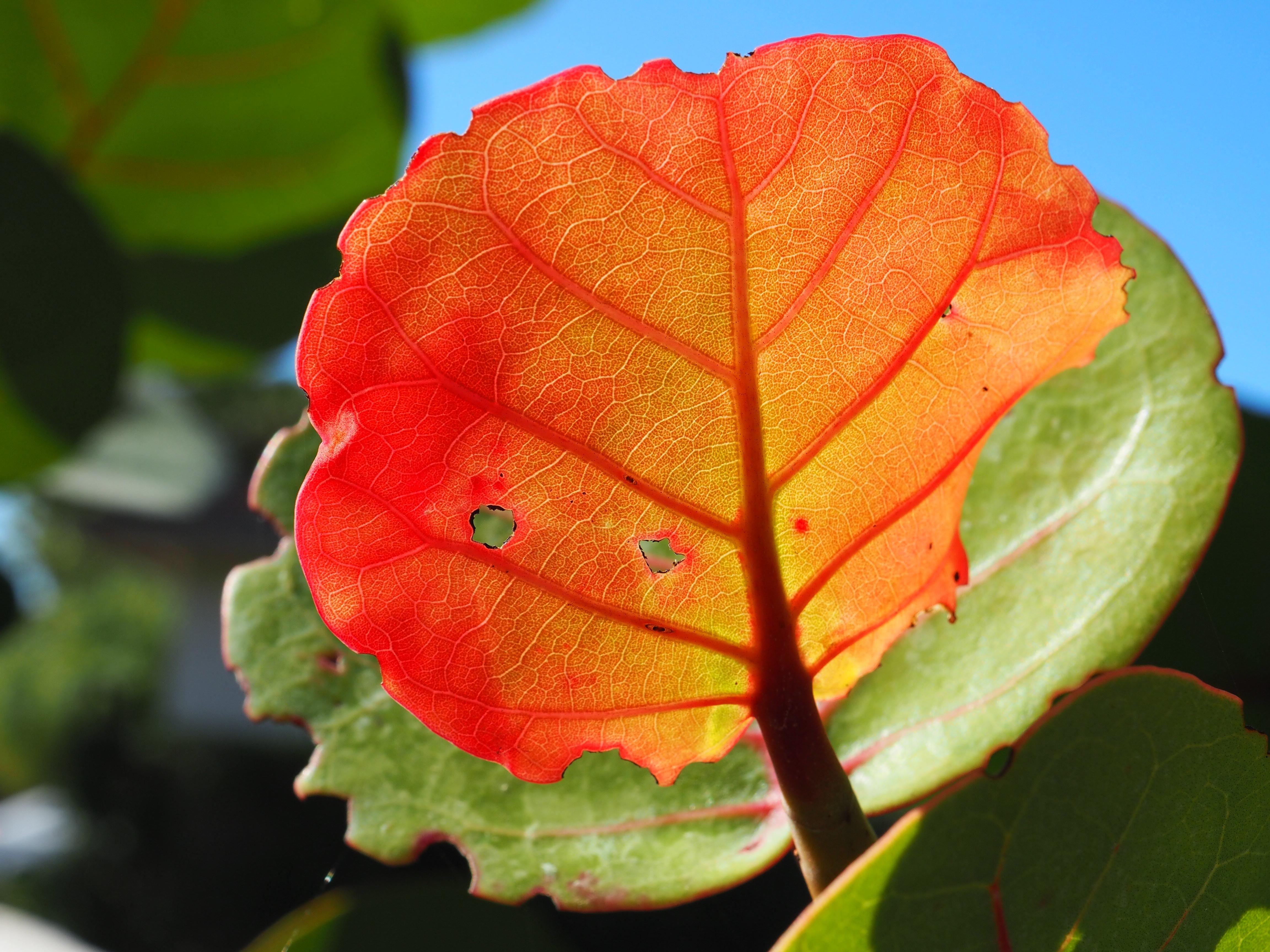 Seagrape Leaf