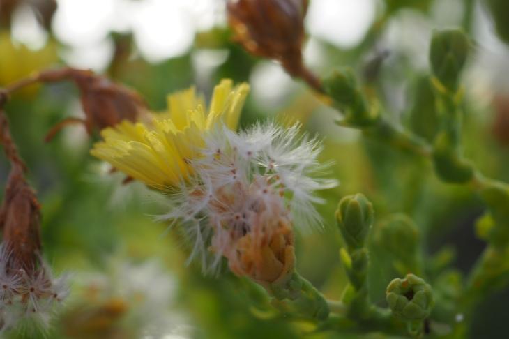 Lettuce Flower & Seeds