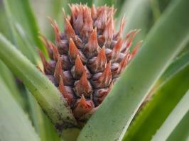 Golden pineapple fruit